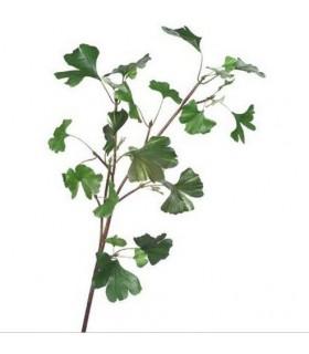 Branche de Ginkgo